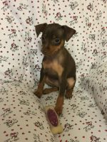 Miniature Pinscher Puppies for sale in Mocksville, NC 27028, USA. price: NA