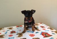 Miniature Pinscher Puppies for sale in Queen City, MO 63561, USA. price: NA