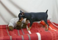 Miniature Pinscher Puppies for sale in Farmingdale, ME 04344, USA. price: NA