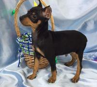 Miniature Pinscher Puppies for sale in Ehrhardt, SC 29081, USA. price: NA