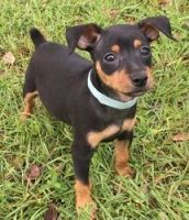 Miniature Pinscher Puppies for sale in Jersey City, NJ, USA. price: NA