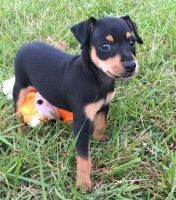 Miniature Pinscher Puppies for sale in Elliottville, KY 40317, USA. price: NA