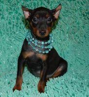 Miniature Pinscher Puppies for sale in Orlando, FL, USA. price: NA