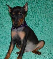 Miniature Pinscher Puppies for sale in Dakota City, NE 68731, USA. price: NA