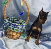Miniature Pinscher Puppies for sale in Downey, CA 90241, USA. price: NA