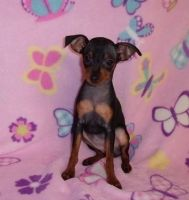 Miniature Pinscher Puppies for sale in Lynco, WV 24827, USA. price: NA