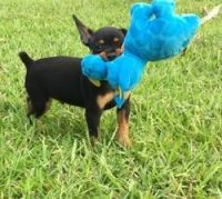 Miniature Pinscher Puppies for sale in Dallas, TX, USA. price: NA