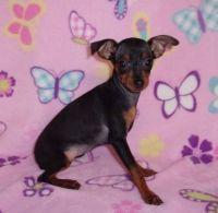Miniature Pinscher Puppies for sale in Wilmar, AR 71675, USA. price: NA