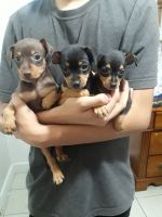 Miniature Pinscher Puppies for sale in Phoenix, AZ, USA. price: NA