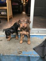 Miniature Pinscher Puppies for sale in Fontana, CA, USA. price: NA