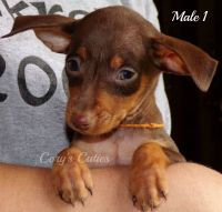 Miniature Pinscher Puppies for sale in Elkland, MO 65644, USA. price: NA