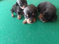 Miniature Pinscher Puppies for sale in Clinton, NC 28328, USA. price: NA