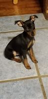 Miniature Pinscher Puppies for sale in Lincoln, KS 67455, USA. price: NA
