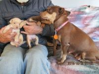 Miniature Pinscher Puppies for sale in River Grove, IL 60171, USA. price: NA