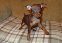 Miniature Pinscher Puppies for sale in Sahuarita, AZ, USA. price: NA