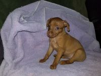 Miniature Pinscher Puppies for sale in Waupaca, WI 54981, USA. price: NA