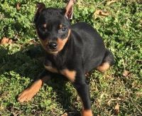 Miniature Pinscher Puppies for sale in Provo, UT, USA. price: NA