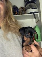 Miniature Pinscher Puppies for sale in Paris, KY 40361, USA. price: NA
