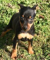 Miniature Pinscher Puppies for sale in Ann Arbor, MI, USA. price: NA
