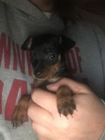 Miniature Pinscher Puppies for sale in OH-122, Ohio, USA. price: NA