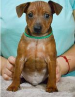 Miniature Pinscher Puppies for sale in Worcester, MA 01653, USA. price: NA