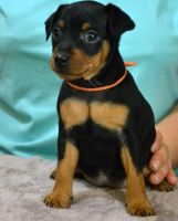 Miniature Pinscher Puppies for sale in Charleston, WV 25326, USA. price: NA