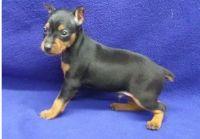 Miniature Pinscher Puppies for sale in Warren, MI 48089, USA. price: NA