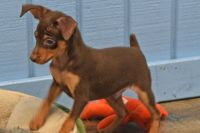 Miniature Pinscher Puppies for sale in Spring Mill, KY 40228, USA. price: NA