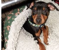 Miniature Pinscher Puppies for sale in Springfield, MA 01119, USA. price: NA