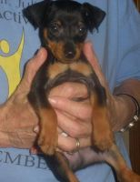 Miniature Pinscher Puppies for sale in Baltimore, MD, USA. price: NA