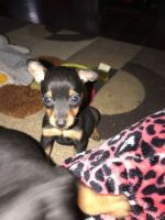 Miniature Pinscher Puppies for sale in Ellwood City, PA 16117, USA. price: NA