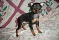 Miniature Pinscher Puppies for sale in Seattle, WA, USA. price: NA