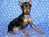 Miniature Pinscher Puppies for sale in Columbia, SC, USA. price: NA