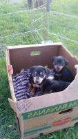 Miniature Pinscher Puppies for sale in Plymouth East Rd E, Ohio, USA. price: NA