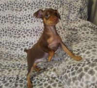 Miniature Pinscher Puppies for sale in Tinley Park, IL, USA. price: NA