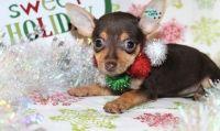 Miniature Pinscher Puppies for sale in Piedmont, CA 94610, USA. price: NA