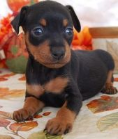 Miniature Pinscher Puppies for sale in Jackson, MS 39206, USA. price: NA