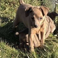Miniature Pinscher Puppies for sale in Columbus, OH 43214, USA. price: NA