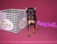 Miniature Pinscher Puppies for sale in Aurora, CO, USA. price: NA