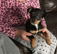 Miniature Pinscher Puppies for sale in Katy, TX, USA. price: NA