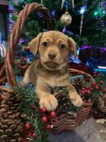 Miniature Pinscher Puppies for sale in Kenyon, MN 55946, USA. price: NA