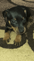 Miniature Pinscher Puppies for sale in Fishers, IN 46037, USA. price: NA