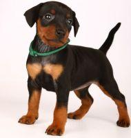 Miniature Pinscher Puppies for sale in Saginaw, MI 48604, USA. price: NA