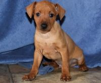 Miniature Pinscher Puppies for sale in Las Cruces, NM, USA. price: NA