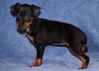 Miniature Pinscher Puppies for sale in Atlanta, GA, USA. price: NA