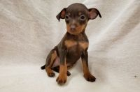 Miniature Pinscher Puppies for sale in Hartford, CT 06104, USA. price: NA