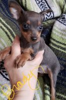 Miniature Pinscher Puppies for sale in Worcester, MA 01608, USA. price: NA