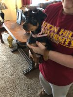 Miniature Pinscher Puppies for sale in McMurray, PA, USA. price: NA
