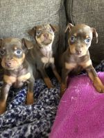 Miniature Pinscher Puppies for sale in Seligman, MO 65745, USA. price: NA