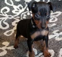 Miniature Pinscher Puppies for sale in Detroit, MI, USA. price: NA